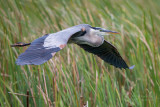 1DX52693 - Great Blue Heron in flight