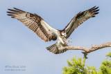 1DX51472 - Osprey landing