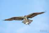 1DX51679 - Osprey in flight