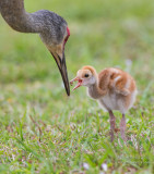 1DX52901 - Sandhill Crane with Chick