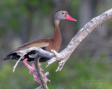 1DX51576 - Black Bellied Whistling Duck
