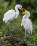 M4_15423 - Great Egret Chicks