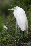 1DX52969 - Great Egret