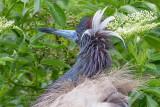 1DX52978 - Tricolor Heron