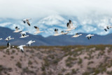 1DX-70216 - Snow Geese