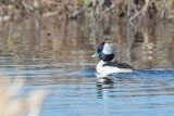1DX-72589 - Bufflehead