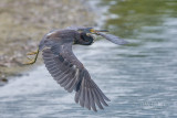1DX78225 - Tricolor Heron in Flight