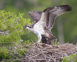 1DX79255 - Osprey Chick