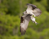 1DX79347 - Osprey with Fish