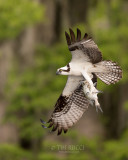 1DX79349 - Osprey with Fish