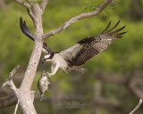 1DX79371 - Osprey with Fish
