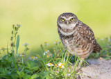 1DX79666 - Burrowing Owl