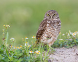 1DX79720 - Burrowing Owl