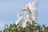 M4_17232 - Great Egret Chicks