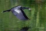 1DX80348 - Anhinga in Flight