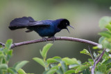 1DX79999 - Boat Tailed Grackle