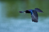 1DX79962 - Grackle in Flight