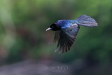 1DX79958 - Grackle in Flight