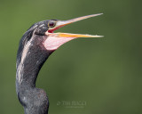 1DX80450 - Anhinga Head Shot