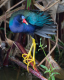 1DX80287 - Purple Gallinule