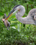 1DX80117 - Great Blue Heron with Catch