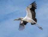 1DX77273 - Wood Stork