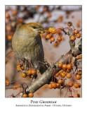 Pine Grosbeaks
