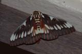 Splendid Royal Moth (Citheronia splendens)