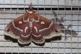 Glover's Silkmoth (Hyalophora columbia gloveri)  SCROLL DOWN