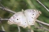Butterflies - 2016