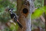 White-backed Woodpecker. Hvitryggspett