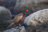 Common Pheasant. Fasan