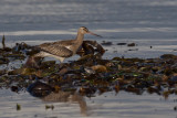 Bar-tailed Godwit. Lappspove