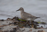 Red Knot. Polarsnipe