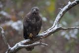 Musvåk, Common Buzzard