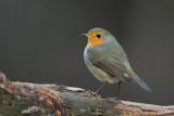 Robin, Rødstrupe