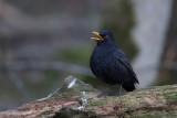 Common Blackbird. Svarttrost