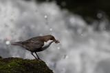 White-throated Dipper. Fossekall