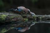 Eurasian Jay, Nøtteskrike