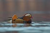 Mandarin Duck. Mandarinand