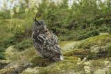 Eurasian Eagle-Owl. Hubro