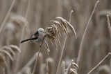 Long-tailed tit. Stjertmeis