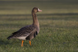 Greater white-fronted goose. Tundragås