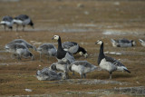 Barnacle Goose. Hvitkinngås
