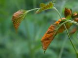 Leaf Rust Fungus
