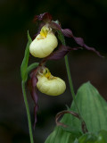 Northern Small Yellow Lady's Slipper Orchid