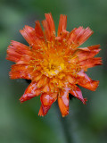 Orange Hawkweed Filled with Raindrops