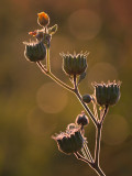 Velvetleaf at Sunset