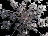 Queen Anne's Lace with Dew