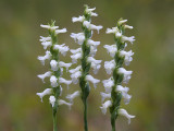 Nodding Ladies'-tresses Orchids